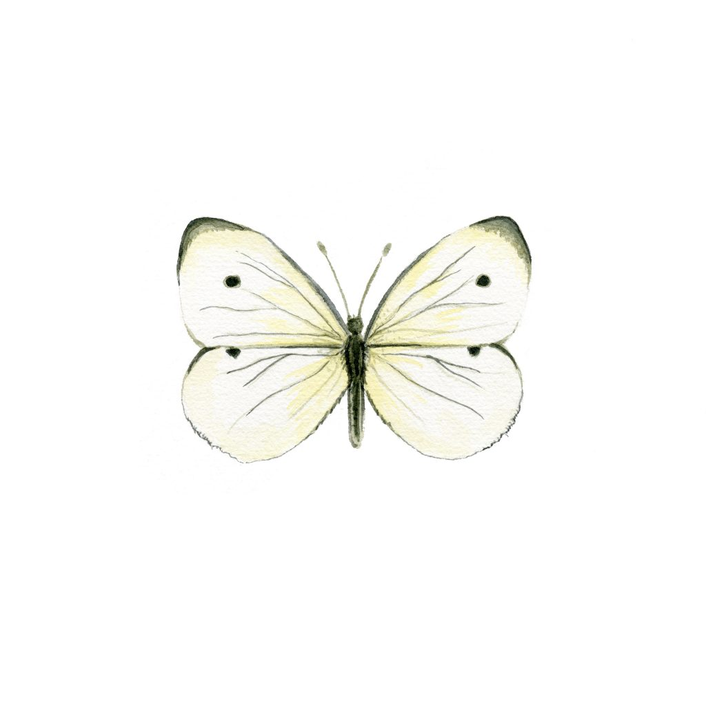 Cabbage white butterfly in watercolor